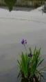 小池の花菖蒲