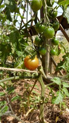 tomato160611-2