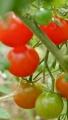 tomato160620-1