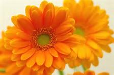 ガーベラ オレンジ