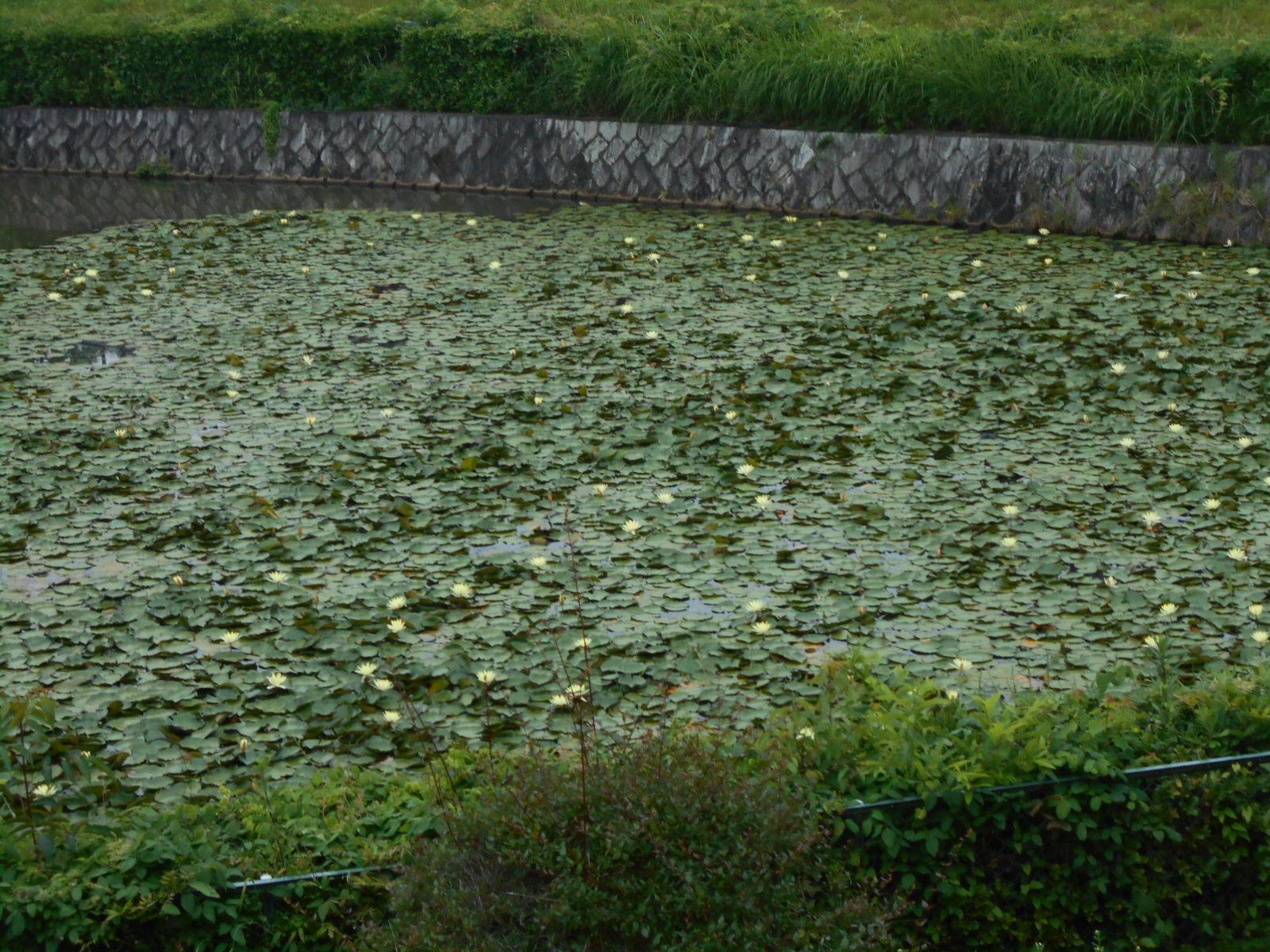 水連② (2)
