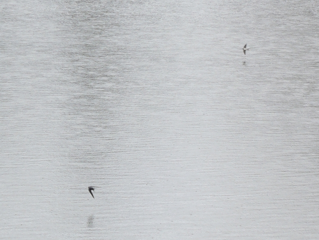 ツバメ 鷹巣中央公園201605001