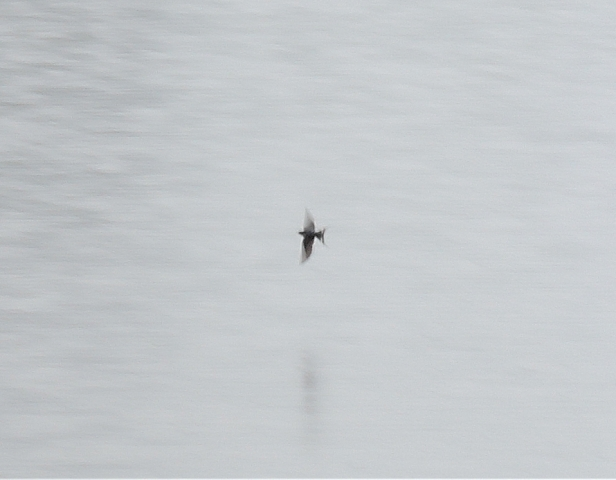 ツバメ 鷹巣中央公園201605002