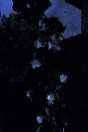 曇る夜の月下美人