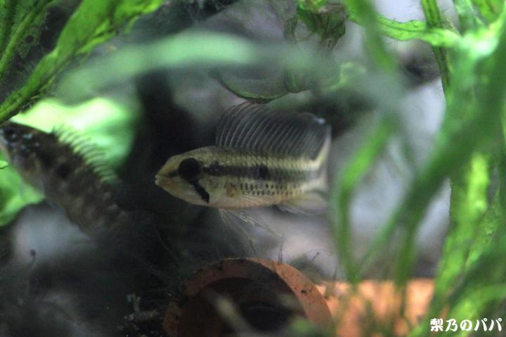 sp.セーゲルフロッセン♂9