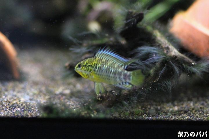 sp.グアビアーレ♂9