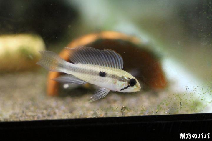 sp.セーゲルフロッセン♂7