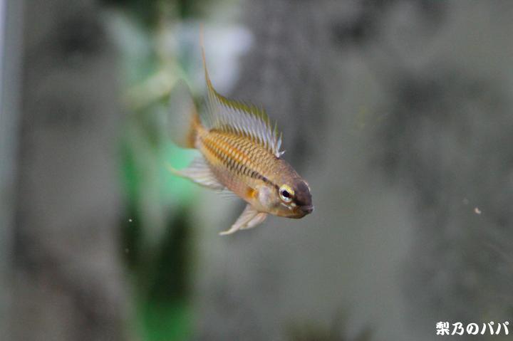 ホングスロイ.ラーゴカリマグア♂F1-23