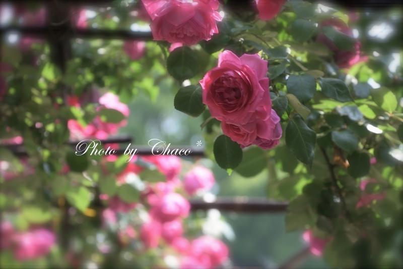Rose fairy♪