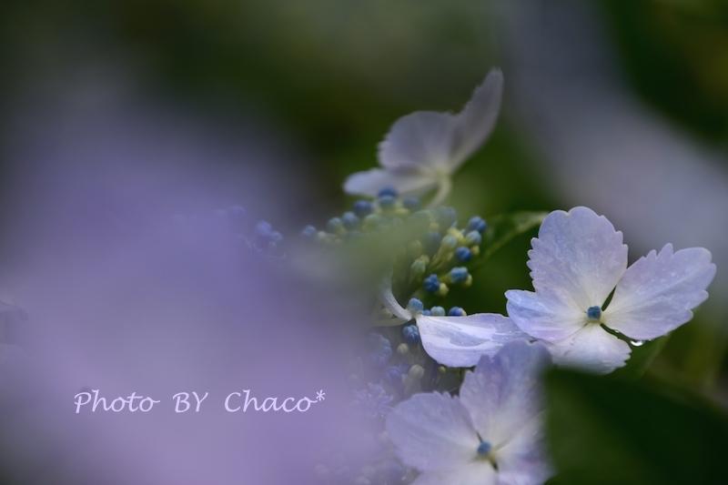 雨の日は紫陽花日和