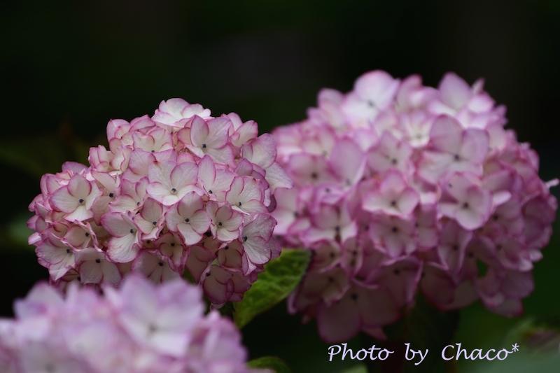 白猪の滝・紫陽花