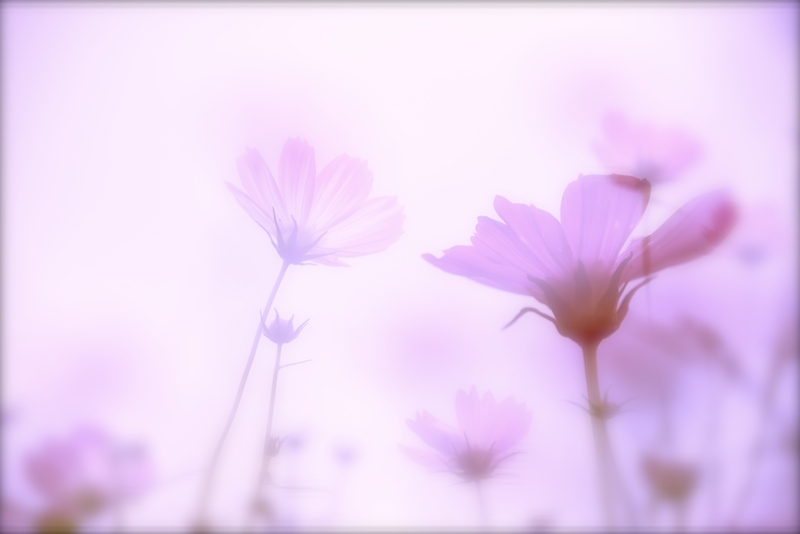 夢見る秋桜