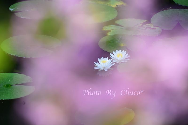 夢見るwater lily…
