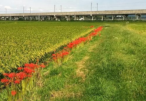 higanbana500x347.jpg
