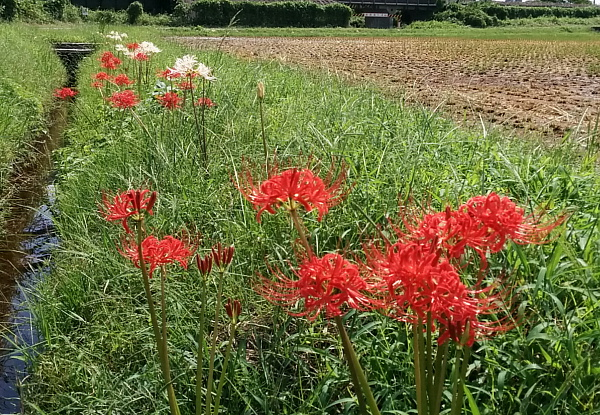 higanbana600x415.jpg