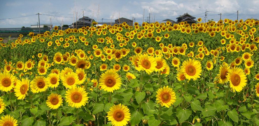himawari1024x500.jpg