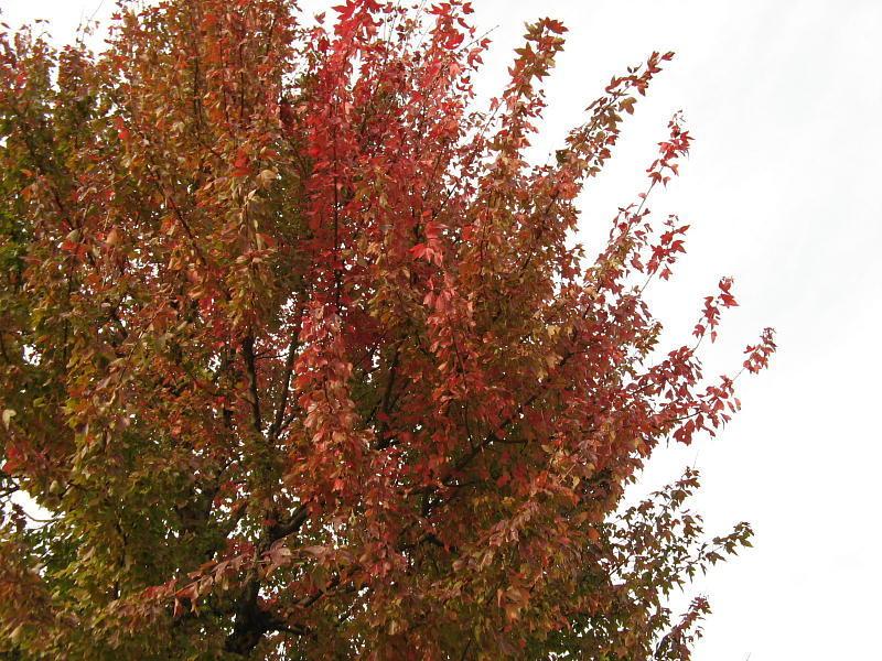 プラタナス紅葉