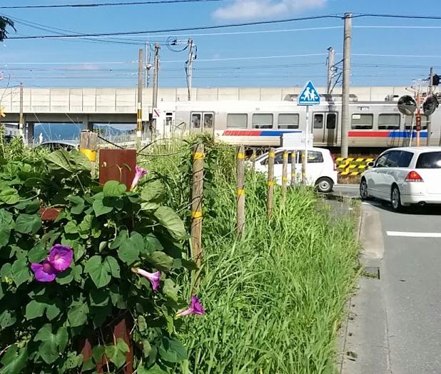 ryukyuasagao2.jpg
