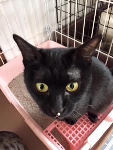 鼻の頭に猫砂をくっつけたままの黒丸ちゃん