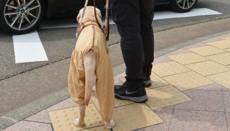 男性と外出する盲導犬