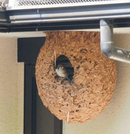 スズメバチの巣をスズメがリフォームして住み着き、近所で話題に 岐阜