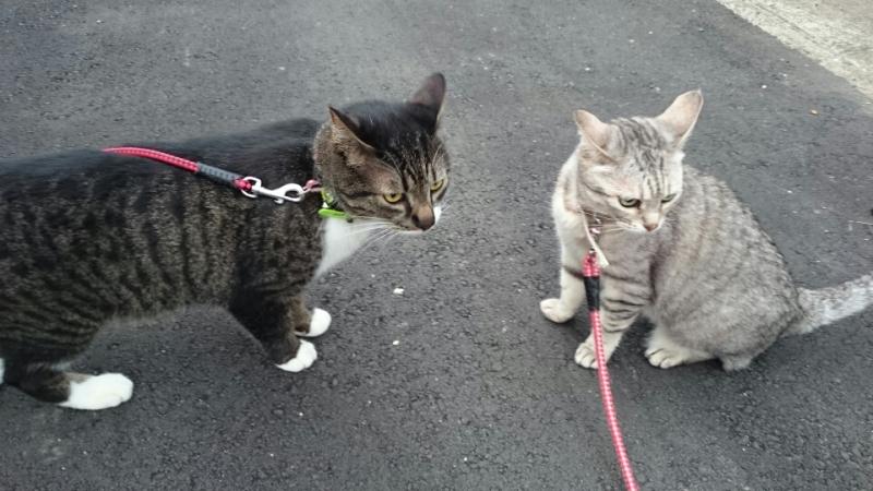 猫にリードをつけて散歩させてエエの?