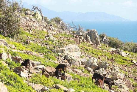 ペロラス島の野生ヤギ