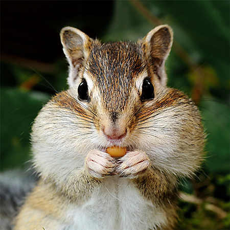 hh-animals-chipmunk-3.png