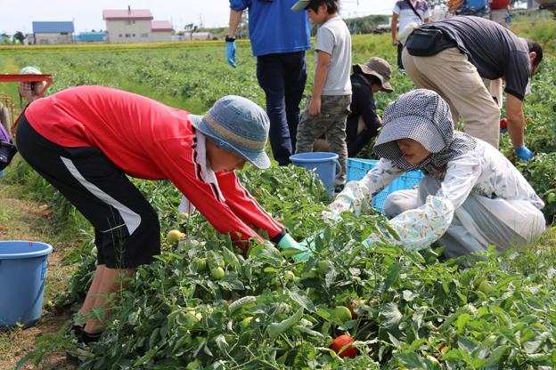 トマト収穫ブログ (2)