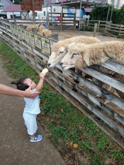 こばぶ羊にえさやり1