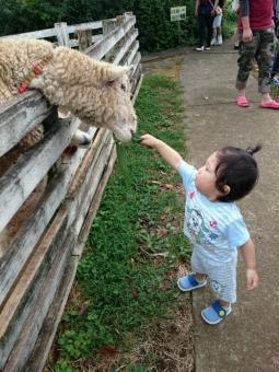 こばぶ羊にえさやり2