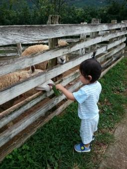 こばぶ羊にえさやり3