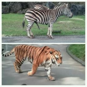トラとシマウマ