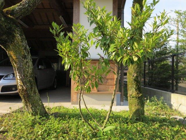 オガタマ木