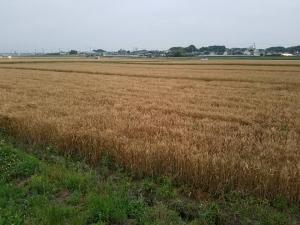 160531麦畑①