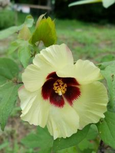 160831ワタの花