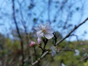 161005四季桜
