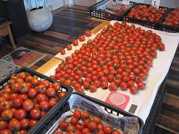 トマト作業3