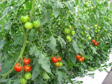 トマト作業2