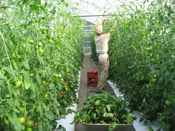 トマト作業1