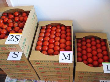 トマト作業6