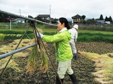 2016稲刈り2