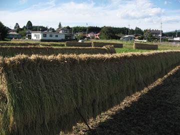 2016稲刈り6