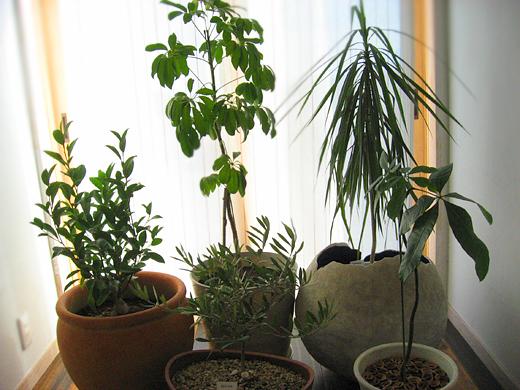 観葉植物鉢上げ