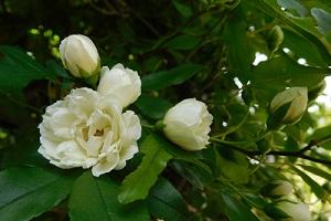 白のモッコウ薔薇