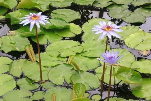 草津2 水の森 蓮の花