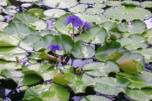 草津2 水の森 蓮の花2