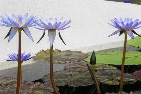 草津2 水の森 蓮の花3