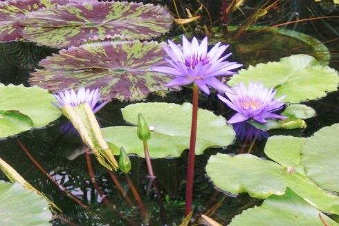 草津2 水の森 蓮の花4