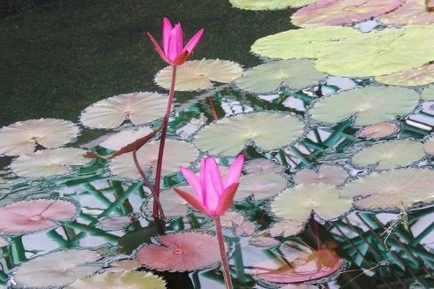 草津2 水の森 蓮の花5